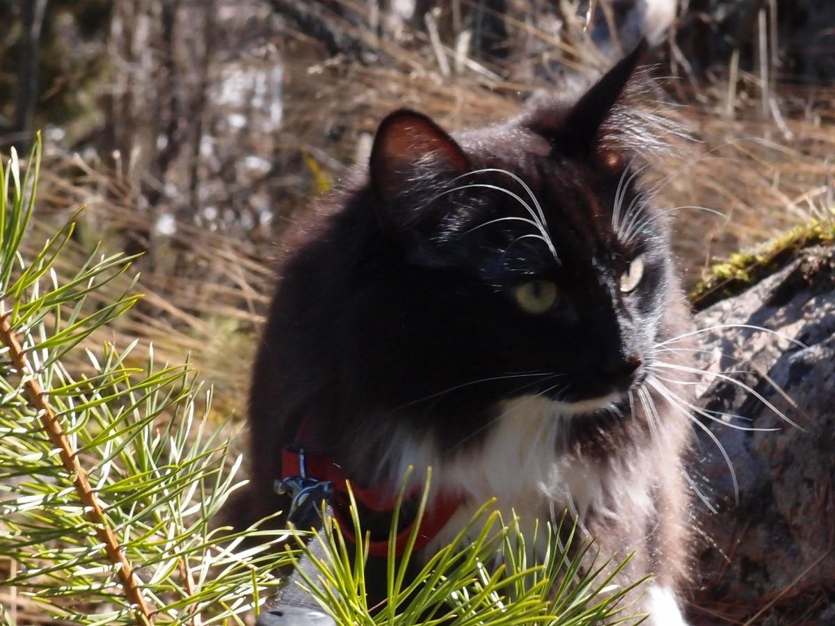 Norski, koiramainen kissa