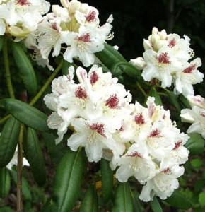 P.M.A. Tigerstedt 30-40 At/Co, Kotimainen erittäin kestävä alppiruusu. Kukat ovat suuret, lähes puhtaanvalkoiset ja koristeellisesti tummatäpläiset. Lehdet ovat tummanvihreät ja nukattomat. Lajike kasvaa kookkaaksi ja pystyksi pensaaksi ja on parhaimmillaan ryhmien taustoilla tai omana suurena ryhmänään. Hyvin runsaskukkainen. Kuivina kesinä hyötyy kastelusta.