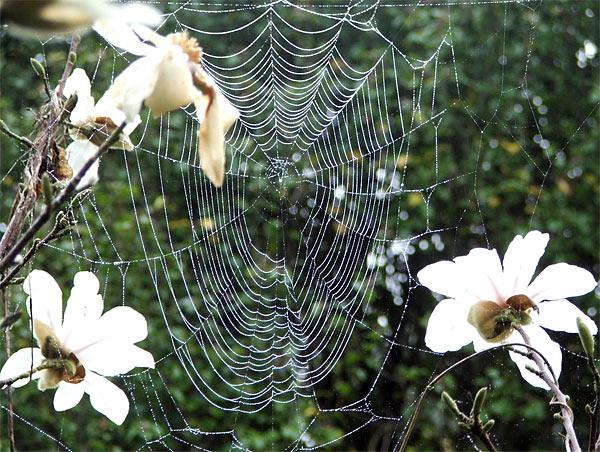 spider-web-magnolia