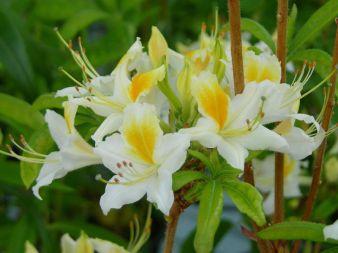 Illusia 30-40 At/Co, Illusia on uusi kotimainen kaunis ja kestävä puistoatsalea. Kesäkuussa puhkeavat kukat ovat valkoiset ja niitä koristavat tummankeltaiset laikut. Illusia on menestynyt hyvin Etelä- ja Keski-Suomessa asti. Se on erinomainen valinta metsäpuutarhaan, rodojen ja havujen yhteyteen. Kasvaa reilun metrin korkuiseksi sekä leveäksi pensaaksi.