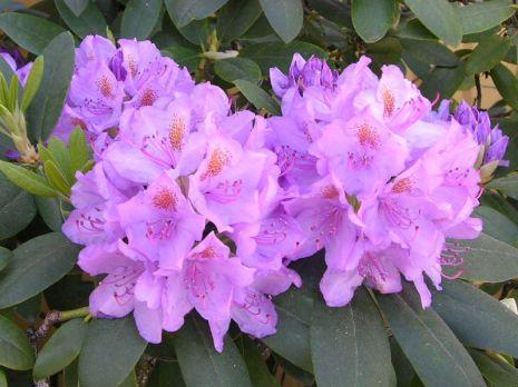 Grandiflorum 30-40 At/Co, Tuttu ja suosittu, yksi parhaimmista alppiruusuistamme. Hurmaa vuosi toisensa jälkeen runsaalla sinivioletilla kukinnallaan. Kasvaa vanhemmiten leveän pyöreäksi pensaaksi. Istuta vierekkäin eri korkuisia taimia, niin saat heti ilmeikkään ryhmän. Suosi myös maanpeittokasveja, ne lisäävät alppiruusujen viihtyvyyttä.
