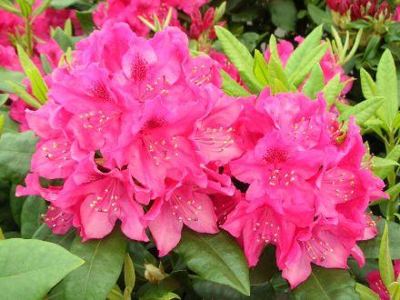 Nova Zembla 30-40 At/Co, Suosittu puistoalppiruusu, jonka loistavan punaiset kukinnot tuovat näyttävää väriä puolivarjon puutarhoihin. Rentoversoisena pensaana sopii ryhmiin muiden kasvien joukkoon. Viihtyy humusrikkaassa, happamassa maassa.