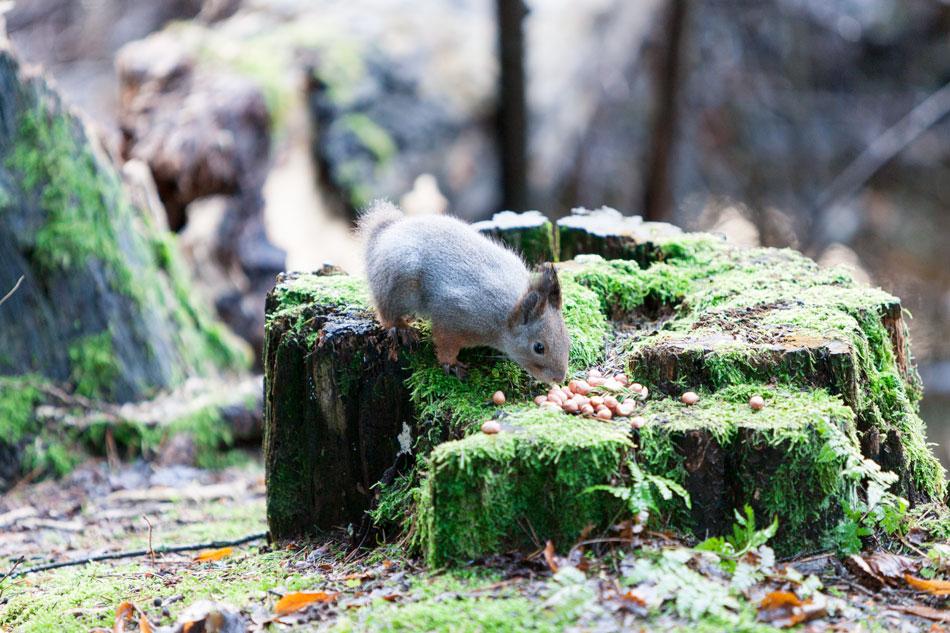 Hännätön orava asuuSeurasaaressa