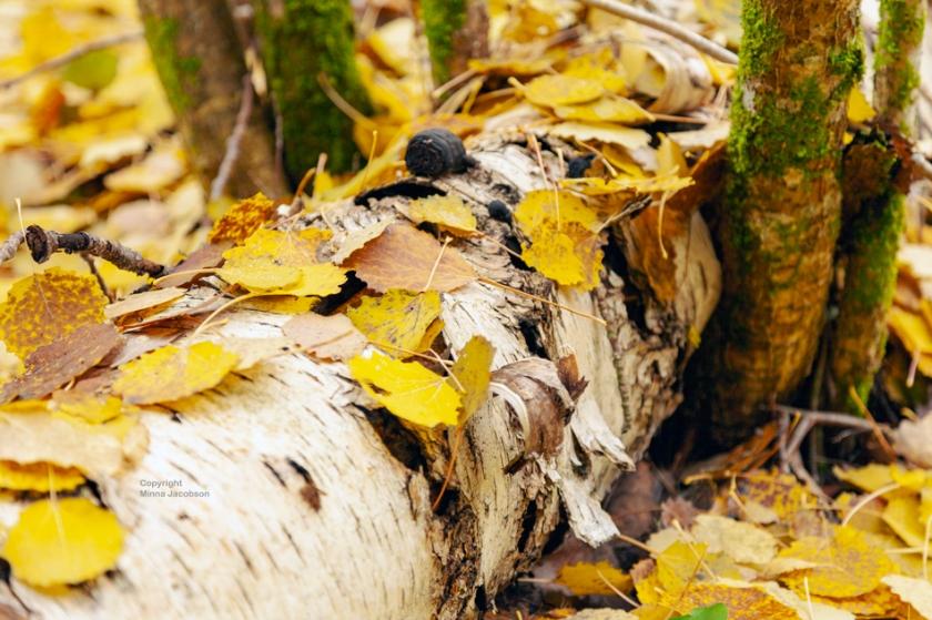 luonnontilainen metsä