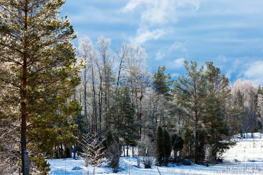 Kopparnäs, talviset puut