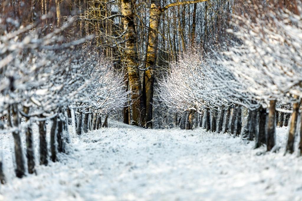 Talviset puut, talvimaisema