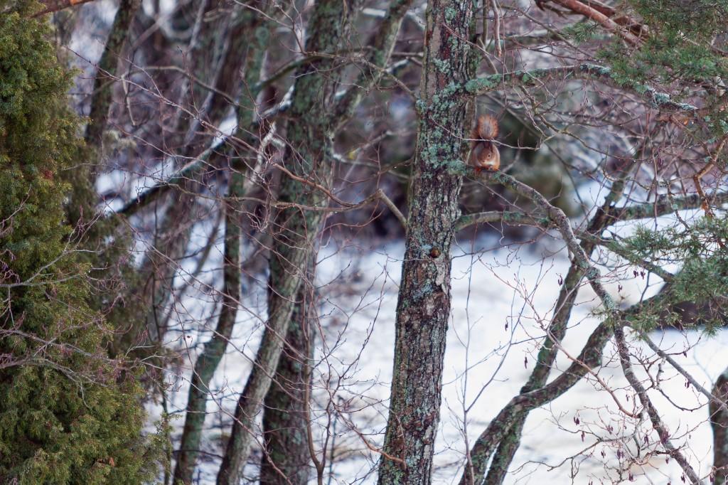 Kopparnäs, orava
